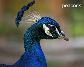 """Il punto energetico """"cento riunioni"""" (bai hui, Vg20) si trova alla sommità del capo, dove il pavone porta la cresta"""