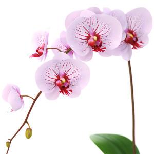 quando due nell'intimo del cuore si intendono appieno le loro parole sono soavi e forti come profumo di orchidee